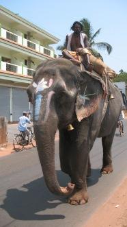 Elephant in Goa 2011