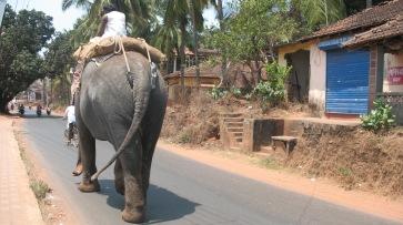 Elephant in Goa 2011 002